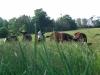 cows07