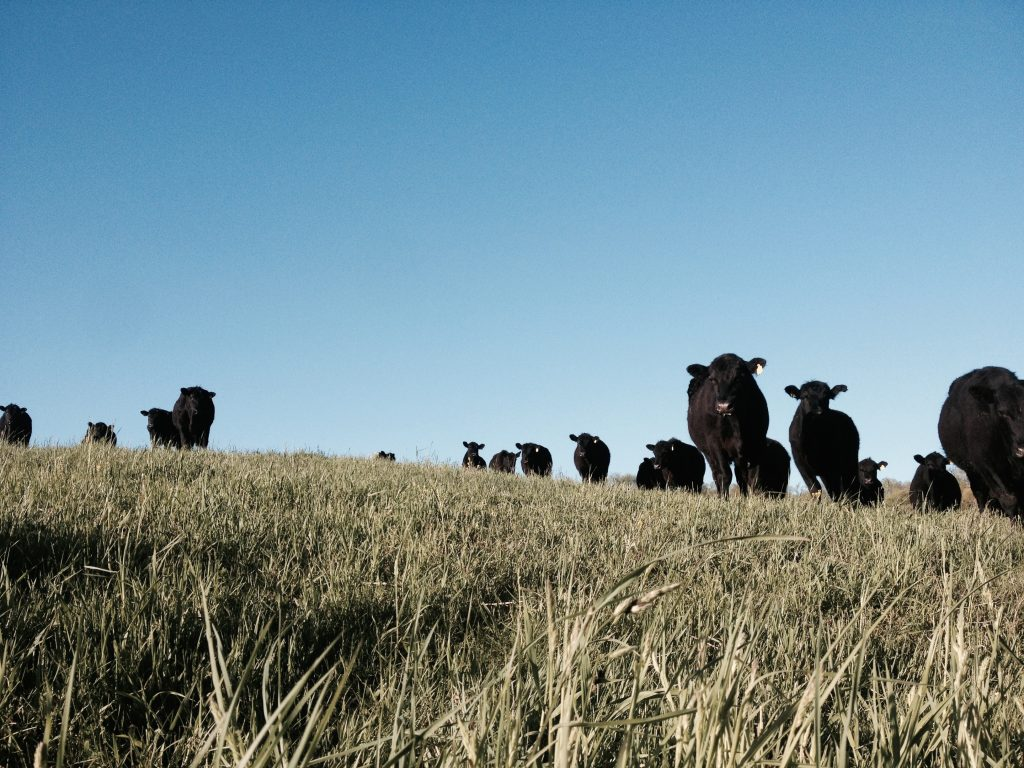 Curious steers.
